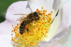 Апитерапия или лечение пчелами