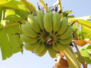 Бананы - польза или вред?